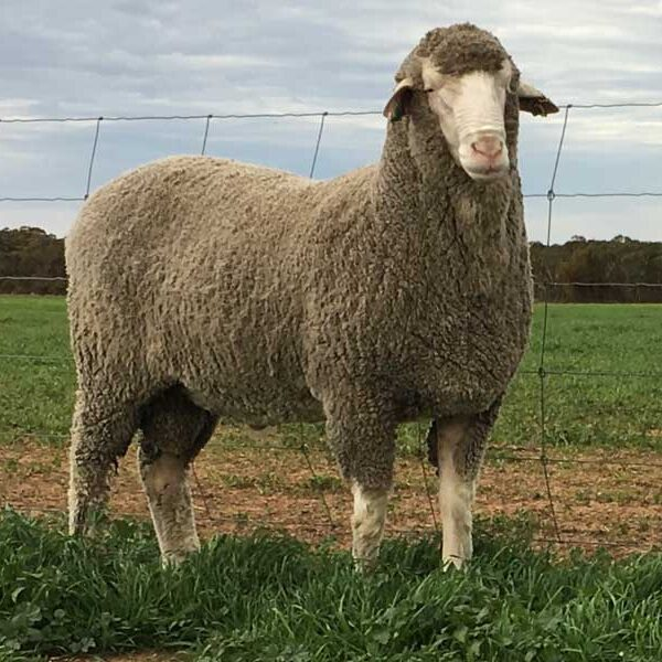 Early growth - stock reach marketable size sooner. Ability to join ewe lambs. Positive carcase traits & correct conformation