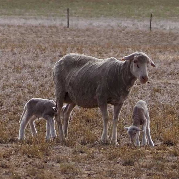 Highly fertile Merino Sheep - consistently recording 115% - 125% lambs weaned
